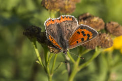 Common copper (Lycaena phlaeas) Stock Images