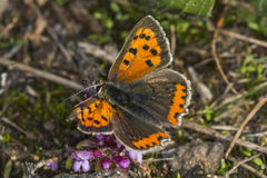Common copper (Lycaena phlaeas) Royalty Free Stock Image