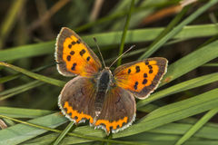 Common copper (Lycaena phlaeas) Stock Photography