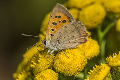 Common copper (Lycaena phlaeas) Royalty Free Stock Images