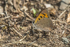 Common copper (Lycaena phlaes) Royalty Free Stock Photos