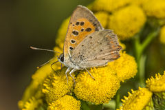 Common copper (Lycaena phlaes) Royalty Free Stock Image
