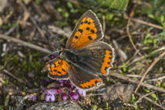 Common copper (Lycaena phlaes) Stock Photography