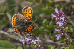 Common copper (Lycaena phlaes) Royalty Free Stock Photography