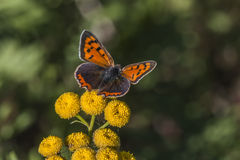 Common copper (Lycaena phlaes) Stock Images