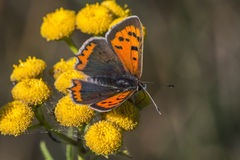 Common copper (Lycaena phlaes) Royalty Free Stock Photo