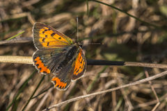 Common copper (Lycaena phlaes) Stock Photos