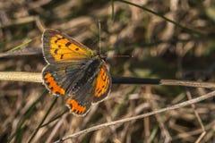 Common copper (Lycaena phlaes) Stock Photos