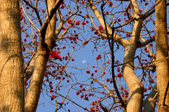Common coral tree. Red flowers of the common coral tree with the moon on a blue sky in the background stock images