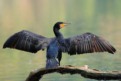 Common cormorant Stock Image
