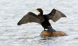 Common cormorant  sitting on a rockin in the ocean, Sweden. Bird sitting on a rock on the west coast Royalty Free Stock Images