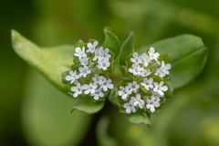 Common cornsalad Valerianella locusta flowers from above. Low growing plant in the family Caprifoliaceae, aka lamb`s lettuce royalty free stock image