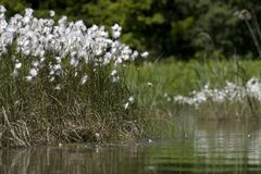 Common cotton grass. The Netherlands Royalty Free Stock Photo