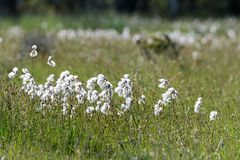 Common cotton grass closeup Stock Image