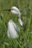 Common Cotton-Grass Stock Image