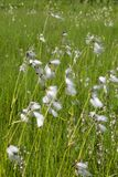 Common Cottongrass Royalty Free Stock Images