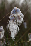 Common Cottongrass Stock Photography