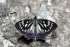 The Common Courtesan butterfly Royalty Free Stock Images