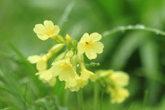 Common cowslip Royalty Free Stock Photos