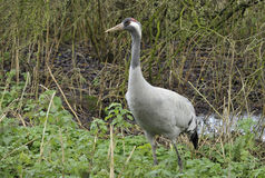 Common Crane Royalty Free Stock Photo