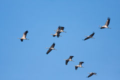 Common Crane. In flight against the blue sky Stock Image