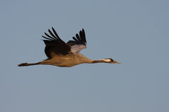 Common crane. In Hungary Hortobágy Stock Images