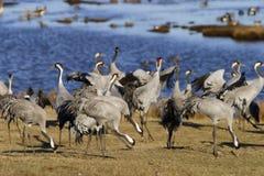 Common crane. Stock Photo