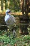 Common crane Stock Image