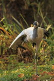 Common crane Stock Images