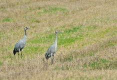 Common crane. On the field Stock Photography