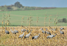 Common crane. On the field Royalty Free Stock Image