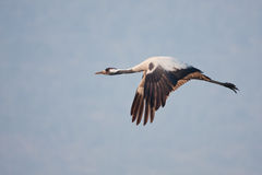 Common crane Royalty Free Stock Image