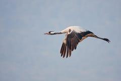 Common crane Royalty Free Stock Image