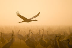 Common crane Stock Photos