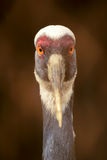 Common crane Stock Image