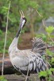 Common crane Stock Images