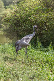 A Common Crane Royalty Free Stock Photo