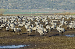 Free Common Crane Royalty Free Stock Images - 37614079