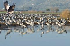 Free Common Crane Royalty Free Stock Image - 37753956