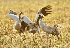 Common crane birds. Closeup of three common crane birds in yellow countryside field Royalty Free Stock Image