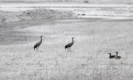Common crane birds Stock Photography