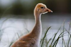 Common crane chick Stock Images