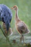 Common crane chick Stock Photo