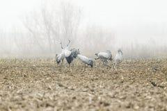Common crane courtship dance in Extremadura. Spain stock image