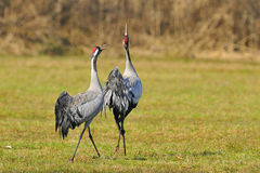 Common crane Stock Photography