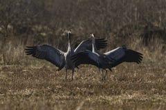 Common crane display Stock Image