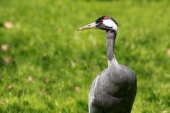 Common Crane or Eurasian Crane / Grus grus royalty free stock photos