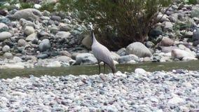 Common crane Eurasian crane, Grus grus walks along the riverbank and looks for food among the pebbles.