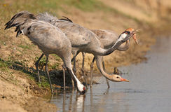 Common Crane family. The picture was taken form a hide in Hungary Stock Image