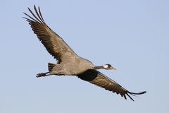 Common crane in flight Royalty Free Stock Image